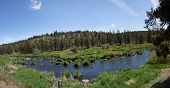 Panorama - Conifer Forest