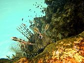 Lion Fish Waiting On The Reef