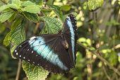 Morpho Achilles, Myscelia Morpho borboleta