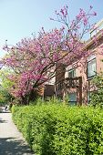 stock photo of judas tree  - Judas tree or Cercis siliquastrum blooming in spring with pink flowers in front of a house - JPG
