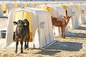 Jersey Dairy Calves In Hutches