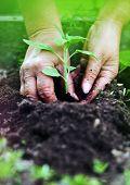Planting sunflower, gardening concept