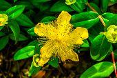 Yellow Rose Of Sharon (hypericum Calycinum)