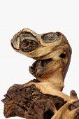 Monstrous Mopane Log