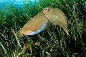 Cuttlefish in Mediterranean Sea