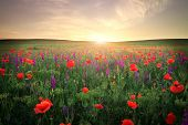 stock photo of grassland  - Field with grass violet flowers and red poppies against the sunset sky - JPG