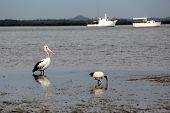 Pelican & Ibis at the Beach