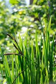 picture of ayam  - Green iris flower leaves and buds on a flower bed - JPG