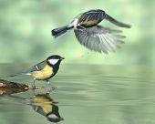 Bird drinking water.