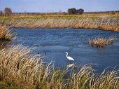 stock photo of marshlands  - A Great Egret wades in the water of a marshland area in the southern United States - JPG