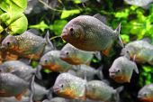 stock photo of piranha  - piranhas fish underwater - JPG