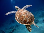 Swimming Turtle with Beautiful Shell