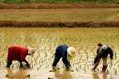 Ricefarmers