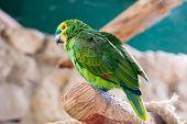 Fischer's Lovebird parrot