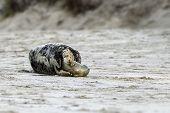 Birth of a grey seal