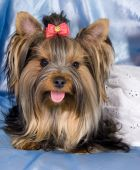 Cute Yorkshire terrier wearing a white dress