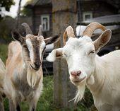 Rural goats