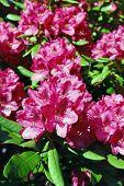 blühende Rhododendren