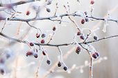 foto of rowan berry  - Winter background red berries on the frozen branches covered with hoarfrost - JPG