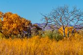 stock photo of cottonwood  - Beautiful Fall Foliage on Cottonwood Trees Along the Rio Grande River in New Mexico - JPG