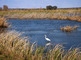 picture of marshlands  - A Great Egret wades in the water of a marshland area in the southern United States - JPG