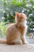 Persian Tabby Cat