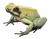 Poison arrow frog Phyllobates terribilis from Colombia a very poisonous and toxic animal, its toxine