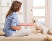 Little dog maltese sitting with his owner on the sofa in home and giving a paw