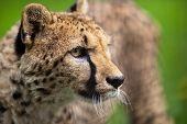 stock photo of cheetah  - Cheetah  - JPG