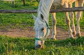 pic of horses eating  - Young horse eating grass on a field - JPG