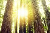 stock photo of redwood forest  - Sunlight in redwood trees forest - JPG