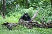 Lonely gorilla in the forest