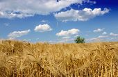 stock photo of nubian  - wheat field - JPG