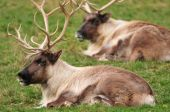 Closeup Of Reindeers