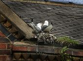 Gulls nesting on roof.