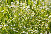 German Chamomile Wildflowers From Close