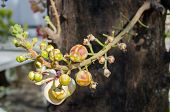 picture of cannonball-flower  - Canonball flower or Couroupita guianensis flower blooming on tree tree of buddha - JPG