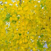 picture of vishu  - Golden Shower Tree Yellow flowers in the tropics Thailand
