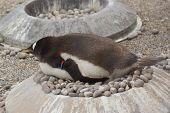 Wild Gentoo Penguin - Pygoscelis papua