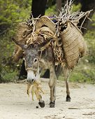 stock photo of burro  - A burro eating leaves while walking a dirt trail with a large load on his back - JPG