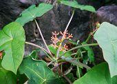 Jatropha Podagrica Hook