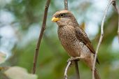 A Yellow-billed Shrike (corvinella Corvina) Perched On A Slender Branch