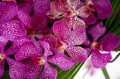 Many pink orchid on palm