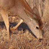 image of mule deer  - A female Mule Deer feeding in New Mexico - JPG