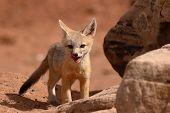 Fox Puppy Outside Den