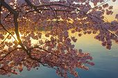 Blossoming cherry trees at dawn around Tidal Basin Washington DC.