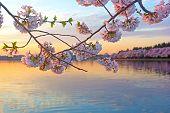 Cherry trees in blossom around Tidal Basin Washington DC.