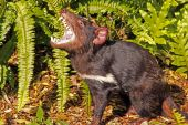 stock photo of taz  - Tasmanian Devil growling - JPG