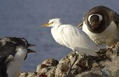 Cattle Egret In Winter Plumage Of Gentoo Penguins Which It Is Being Attacked