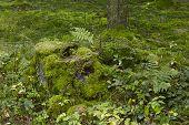 Fern And A Mossy Stub